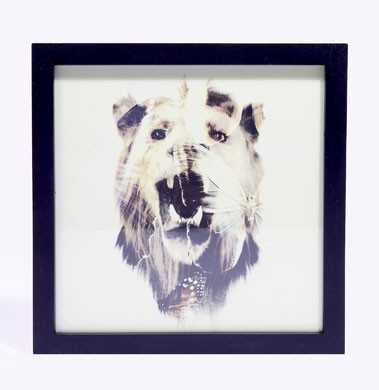 Lion Print in frame by Dan Mountford